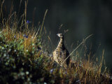 Willow Ptarmigan  Denali National Park  Alaska  USA