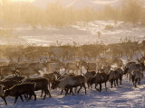 Kamchakta  Herding Reindeer across the Winter Tundra  Palana  Kamchatka  Russian Far East  Russia