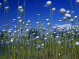 Cotton Grass  Susitna River  Alaska  USA