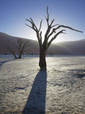 Blackened Camelthorn Trees in Dead Vlei  Near Sossusvlei  Namibia