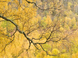 Autumn Wood  Cairngorms National Park  Highlands  Scotland  UK