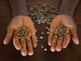 Worker from the Plantation &#39;Roca Nova Moka&#39; in Sao Tom&#233; Holds Some Coffee Beans