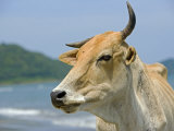 On the Coast of Sabah Zebu Cattle Grazes on the South China Sea Beach