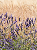 Lavender and Wheat  Provence  France