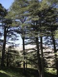 The Cedar Trees of Bcharre  Qadisha Valley  Lebanon