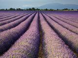 Lavender Field  Plateau De Valensole  Provence  France  Europe