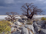 Gnarled Baobab Tree Grows Among Rocks at Kubu Island on Edge of Sowa Pan  Makgadikgadi  Kalahari