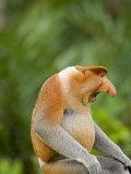 Alpha Male Proboscis Monkey in Territorial Stance  Sabah  Borneo