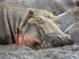 Katavi National Park  A Hippo Basks in Mud Wallow as the Katuma River Dries  Tanzania