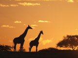 Giraffes  Silhouetted at Sunset  Etosha National Park  Namibia  Africa