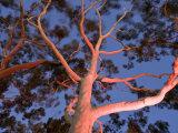 Mature Lemon Scented Gum Trees Perth  Western Australia  Australia