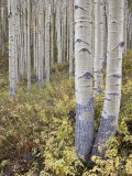 Aspen Grove in Early Fall  White River National Forest  Colorado