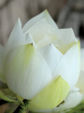 Lotus Flower  Hanoi  Vietnam  Indochina  Southeast Asia  Asia