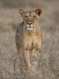 Lioness  Samburu National Reserve  Kenya  East Africa  Africa