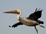 American White Pelican in Flight Shortly after Taking Off