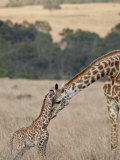 Mother and Baby Masai Giraffe Just Days Old