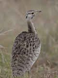 Male Black-Bellied Bustard
