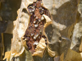 Frankincense  the Resin Seeping Out into a Cut in the Tree&#39;s Bark  Dhofar Mountains  Salalah