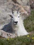 Mountain Goat  Mount Evans  Colorado