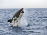 Great White Shark  Breaching to Decoy  Seal Island  False Bay  Cape Town