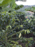 Coffee Beans Growing on the Vine  Recuca Coffee  Near Armenia  Colombia  South America