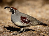 Male Gambel's Quail Scratching for Food  Henderson Bird Viewing Preserve