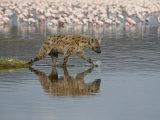 Spotted Hyena in Lake Nakuru  Lake Nakuru National Park
