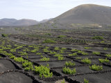Vineyards of La Geria on Volcanic Ash of 1730S Eruptions  Lanzarote  Canary Islands