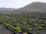 Vineyards of La Geria on Volcanic Ash of 1730S Eruptions  Lanzarote  Canary Islands