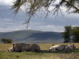 Rhinos Rest under the Shade of a Tree in Lake Nakuru National Park  Kenya  East Africa  Africa