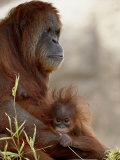 Orangutan Mother and 6-Month Old Baby in Captivity  Rio Grande Zoo