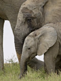Baby and Young African Elephant  Addo Elephant National Park