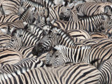 Plains Zebra  Crowd at Waterhole  Etosha National Park  Namibia  Africa