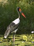 Female Saddle-Billed Stork  Kruger National Park
