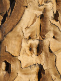 Quiver Tree Bark  Quiver Tree Forest  Keetmanshoop  Namibia  Africa
