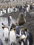 Fur Seal and King Penguins  St Andrews Bay  South Georgia  South Atlantic