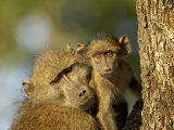 Adult and Infant Chacma Baboon  Kruger National Park  South Africa  Africa