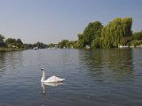 Swan on the River Thames at Walton-On-Thames  Near London  England  United Kingdom  Europe