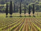 Vineyard and Cypress Trees  San Antimo  Tuscany  Italy  Europe