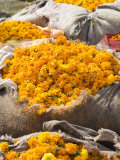 Marigolds Tied Up in Sacking Ready for Sale  Flower Market  Bari Chaupar  Jaipur  Rajasthan