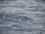 Cape Petrels Flying in the Drakes Passage  Argentina  South America