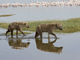 Two Spotted Hyena Walking Along the Edge of Lake Nakuru