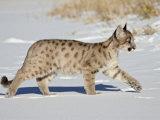 Captive Mountain Lion or Cougar Cub  Near Bozeman  Montana