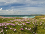 Wild Flowers and Coastline  Isle of Lewis  Outer Hebrides  Sotland  United Kingdom  Europe