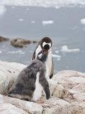Gentoo Penguin Feeding Chick  Neko Harbour  Antarctic Peninsula  Antarctica  Polar Regions