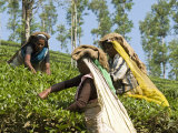 Women Picking Tea  Vythiri  Wayanard District  Kerala  India  Asia