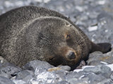 Fur Seal at Brown Bluff  Antarctic Peninsula  Antarctica  Polar Regions