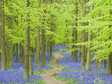 Spring Bluebells in Beech Woodland  Dockey Woods  Buckinghamshire