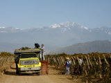 Grape Harvest at a Vineyard in Lujan De Cuyo with the Andes Mountains in the Background  Mendoza