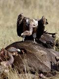 Ruppell's Griffon Vulture Atop a Cape Buffalo Carcass